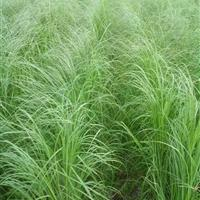 杭州萧山常年大量供应细叶芒,和各种水生植物,自产自销。