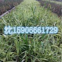 杭州萧山常年大量供应花叶芦竹和其它水生植物,地被植物自产自销