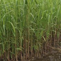 杭州萧山大量供应花叶芦苇,和其它水生植物,地被植物,自产自销