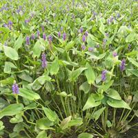 杭州萧山大量供应海寿花,和其它水生植物,地被植物,自产自销。