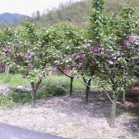 湖南樱花3-4-5-6-7-8-10-12公分樱花树樱花小苗