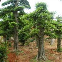 湖南榆树,20-25-30-35公分造型榆树,造型小叶榆树