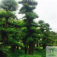 造型榆树古桩/造型榆树/造型榆树盆景30公分造型榆树桩
