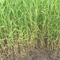 浙江杭州萧山大量供应香蒲2000万芽,自产自销,价格优惠。