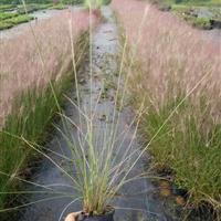 萧山大量供应狼尾草,和其它水生植物,等等。。。。。。。。。。