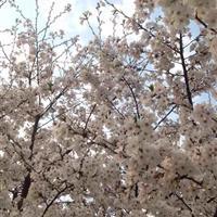 东京早樱【染井吉野】供应,报价,日本樱花【染井吉野】基地