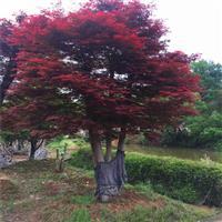 湖南红枫供应、湖南红枫价格、红枫价格、嫁接红枫价格、红枫大树