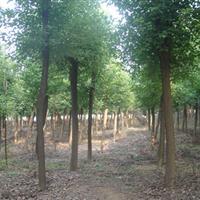 香樟樹價格10公分香樟價格12公分移栽香樟價格15公分香樟樹