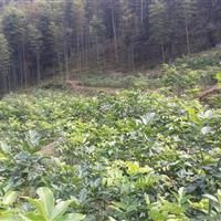 供应花梨木(鄂西红豆树)树苗