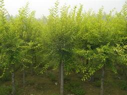 供应黄柳、金丝柳、垂柳,金镶玉竹,黄金竹,刚竹