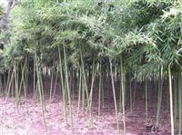 专供刚竹、金镶玉竹、箬竹、青皮竹、翠竹