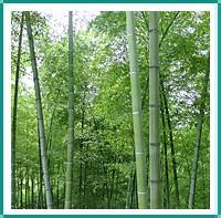 供应京竹、青皮竹、淡竹、箬竹、毛竹
