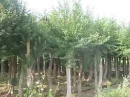 供应葱兰、韭兰、四季青、马尼拉、高羊茅、三叶草、石竹