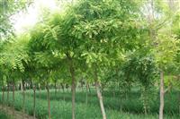 供应,金叶莸,金银木,红叶石楠,国槐