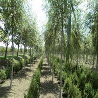 大量供应黄馨,三叶草,火焰南天竹,垂柳