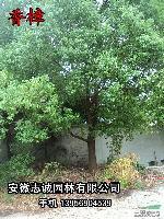 重阳木,大叶女贞,紫薇,桂花,榔榆,红叶李,香樟,元宝枫等