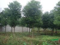 湖南香樟、湖南香樟树、湖南香樟价格、湖南香樟树价格、再生香樟