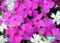 西安得一邦公司――西安草花批发,新几内亚凤仙,天竺葵,日日春