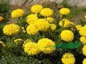 西安得一邦公司——西安草花批发,万寿菊,金盏花,霍香蓟