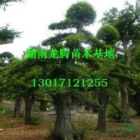 湖南造型榆树 杜英、桂花、红枫、白玉兰、罗汉松