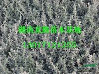 供应各种规格龟甲冬青  桂花、红花继木、春鹃