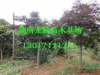 红枫供应报价 夏鹃、茶花、四季含笑、杜英、香樟