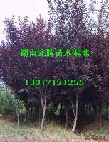 湖南红叶李供应 红豆杉、雪松、松柏、兰天竹、丝兰