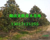 湖南广玉兰供应  四季含笑、杜英、香樟、大叶樟