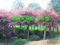 红枫供应 红枫价格 四季含笑、杜英、香樟、大叶樟