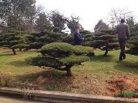 造型罗汉松  金桂、四季桂花、红花继木、春鹃、夏鹃、茶花