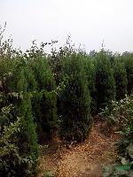 檜柏 2米高