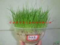 高羊茅草种、高羊茅种子、永定区鑫城君泰115门面