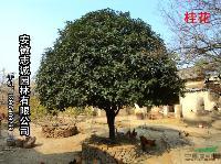安徽肥西 乌桕, 石楠球、广玉兰,朴树,丝棉木,梨树,垂柳,