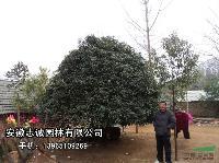 安徽肥西 水杉、椤木石楠、池杉、桂花、红、腊、榆叶梅、枫香、