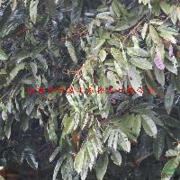 特色珍稀花木类品种花榈木