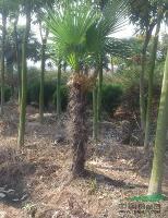 棕榈,棕榈价格,棕榈图片
