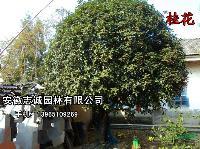安徽大量供应:桂花、大朴树、紫叶李、香樟、乌桕、马褂木、