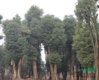 供应香泡、移栽香泡、香泡树、移栽香泡树