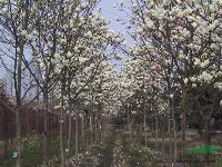 供应广玉兰树、广玉兰小苗、紫玉兰、白玉兰、广玉兰价格