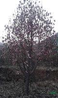 河南地区供应10-35公分紫玉兰(红黄白)玉兰