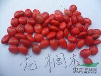 花榈木种子