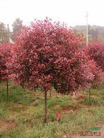 红叶石楠、红叶石楠球、造型红叶石楠、红叶石楠小苗