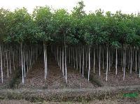 四季桂花、罗汉松、香樟、广玉兰、红花继木、杜鹃等