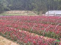红叶李、红叶桃、红叶石楠小苗、红叶小檗工程苗