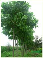 栾树、移栽栾树、野生栾树、栾树小苗
