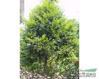 红豆杉、红豆杉树、红豆杉小苗