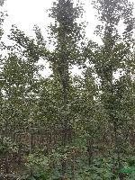 银杏、香樟、桂花、罗汉松、杜英、广玉兰、白玉兰、紫玉兰
