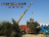供应 红叶石楠、椤木石楠、柿树、五角枫、丝棉、马褂木、杜英