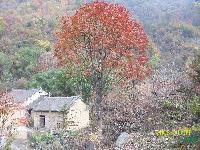 河南南陽供應6-40公分七葉樹