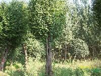 河南南阳供应木瓜,等各种大规格苗木